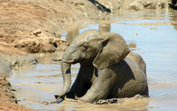 Elefantenkalbsonnenbaden Stockfotos