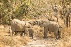 Elefanter är en kram Arkivfoton