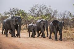 elefanter fotografering för bildbyråer