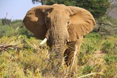 elefanter Arkivbilder