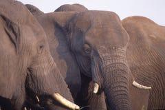 elefanter royaltyfri fotografi
