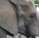 elefanter arkivfoto