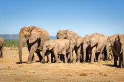 Elefanter Addo elefanter parkerar, Sydafrika Royaltyfria Foton
