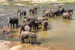 Elefanter av badningen för Pinnawala elefantbarnhem Arkivbilder