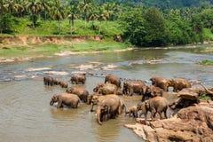 Elefanter av badningen för Pinnawala elefantbarnhem Arkivbild