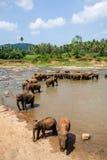 Elefanter av badningen för Pinnawala elefantbarnhem i floden Arkivbilder