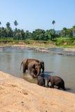 Elefanter av badningen för Pinnawala elefantbarnhem i floden Royaltyfria Foton