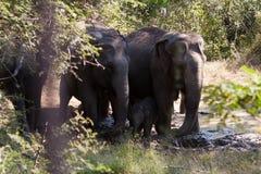 Elefanter av badningen för Pinnawala elefantbarnhem i floden Arkivfoto