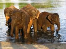 elefanter bada i en sjö Royaltyfria Foton