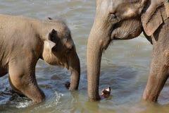 Elefanter badar Arkivfoto