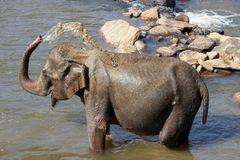 Elefanter badar Arkivbild