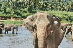 Elefanter badar royaltyfri bild