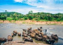 Elefanter badar i den Oya floden i Sri Lanka, Pinnawala elefantbarnhem royaltyfri foto