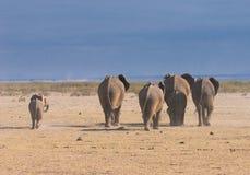 Elefanter bakre sikt, amboseli, Kenya Arkivbild