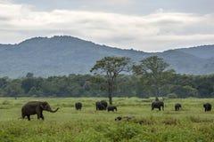 Elefanter betar i den Kaudulla nationalparken nära Habarana i centrala Sri Lanka som slut för en storm in Royaltyfri Foto