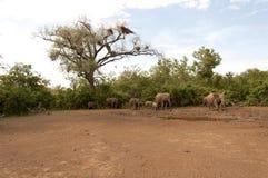 Elefanter bevattnar färgstänk Arkivbild