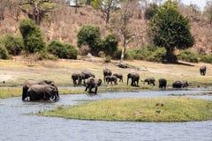 Elefanter - Chobe flod, Botswana, Afrika Arkivbilder