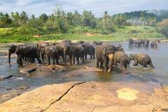 Elefanter den Elephans maximusen, av det Pinnawala elefantbarnhemmet är Fotografering för Bildbyråer