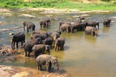Elefanter Elephans maximus, av slagträet för Pinnawala elefantbarnhem Royaltyfria Bilder
