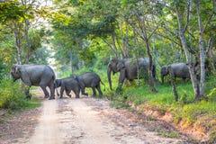 Elefanter en korsning vägen Arkivfoton