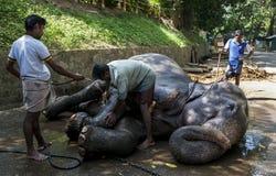 Elefanter för en ståta mottar en skurning ner från dess mahouts nära templet av den sakrala tandreliken i Kandy, Sri Lanka Royaltyfri Foto