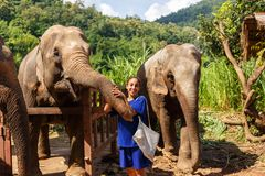 Elefanter för flickasmekning tre på fristaden i Chiang Mai Thailand royaltyfria bilder