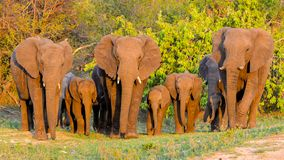 Elefanter flock arkivfoton