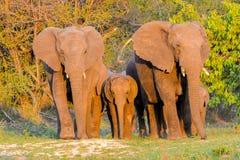 Elefanter flock arkivfoto
