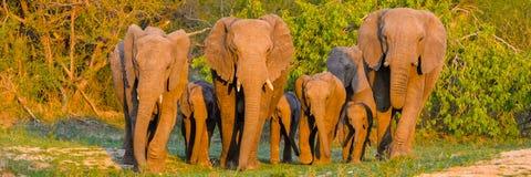 Elefanter flock royaltyfri bild