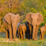 Elefanter flock royaltyfri fotografi