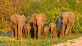 Elefanter flock fotografering för bildbyråer