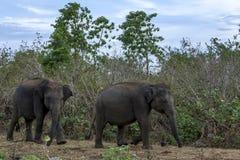 Elefanter flyttar sig förbi savannahen som vegetation inom Uda Walawe National Park i Sri Lanka Fotografering för Bildbyråer