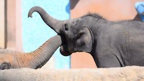 Elefanter fostrar och behandla som ett barn att meddela stock video