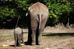 Elefanter från baksidan Arkivbilder