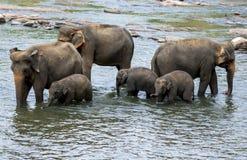 Elefanter från det Pinnawala elefantbarnhemmet badar i Maya Oha River i centrala Sri Lanka royaltyfri foto