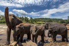 Elefanter från det Pinnawela elefantbarnhemmet & x28en; Pinnewala& x29; bad i Maha Oya River i Sri Lanka Fotografering för Bildbyråer