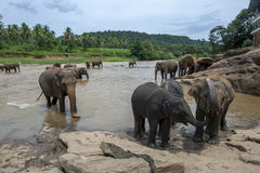 Elefanter från det Pinnawela elefantbarnhemmet & x28en; Pinnewala& x29; bad i Maha Oya River i centrala Sri Lanka Royaltyfri Fotografi