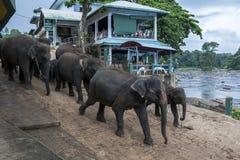 Elefanter från det Pinnewala elefantbarnhemmet & x28en; Pinnawela& x29; head in mot den Maha Oya floden i centrala Sri Lanka Arkivfoton