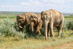 elefanter går Royaltyfri Bild