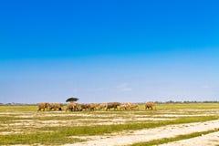 Elefanter går bort Savann av Amboseli Arkivbild