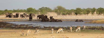 Elefanter, giraff och impalor runt om waterholen royaltyfri foto