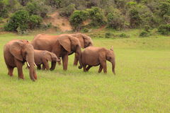 elefanter grupperar wild arkivbild