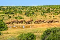 Elefanter i Addo NP arkivfoto