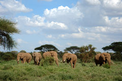 Elefanter i den Amboseli nationalparken arkivfoto