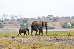 Elefanter i den Chobe nationalparken, Botswana royaltyfri bild