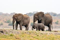 Elefanter i den Chobe nationalparken, Botswana arkivfoto