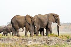 Elefanter i den Chobe nationalparken, Botswana Arkivbilder