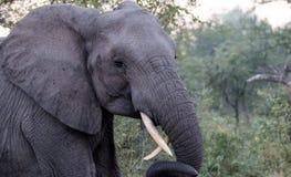 Elefanter i den Kruger nationalparken Royaltyfri Fotografi
