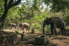 Elefanter i den Punnathurkotta fristaden, Guruvayoor Arkivfoton