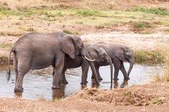 Elefanter i den Tarangire floden Arkivbilder